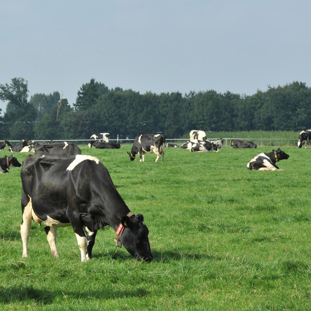 Wetsvoorstel fosfaatrechten melkvee schept duidelijkheid