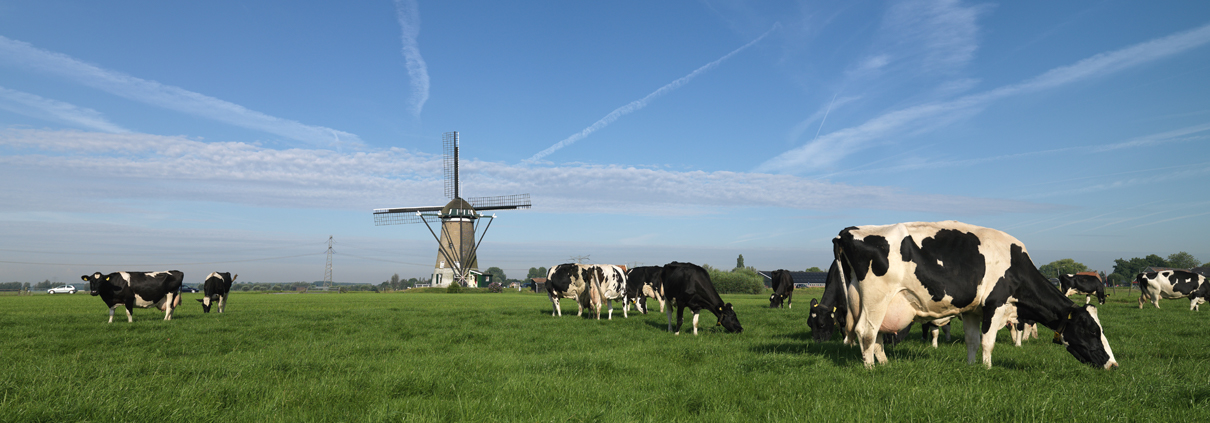 Hoe zit het met koeien in de wei?