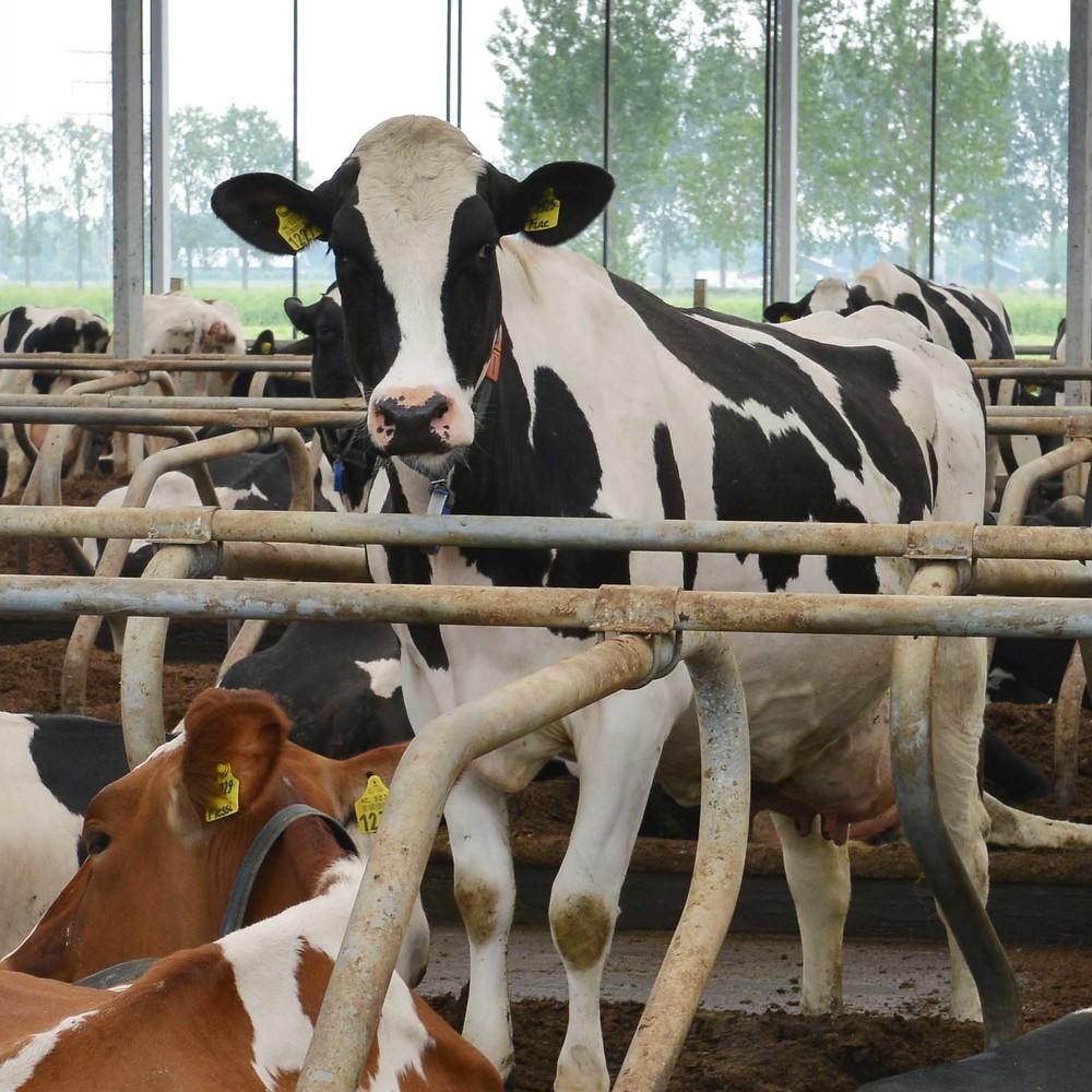 ZuivelNL-er promoveert op invloed van droogstand op samenstelling melk