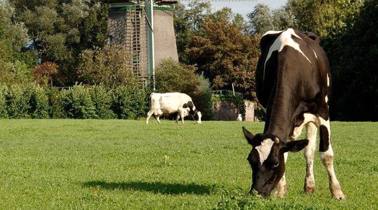 koe graast op nederlandse bodem
